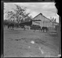 Two men try to capture a donkey in the barnyard, Glendale, 1898