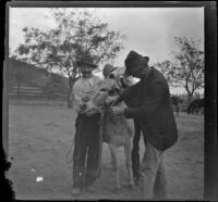 Three ranch workers affix a bridle to a donkey, Glendale, 1898
