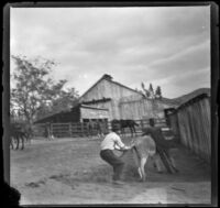 Two men try to capture a donkey, Glendale, 1898