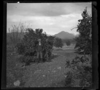 Ed Smith standing in an orange orchard, Pomona, about 1895