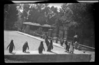 Penguins stand in their enclosure at the San Diego Zoo, San Diego, [about 1935]