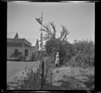 Mertie West picks plums at an abandoned property, Cloverdale, 1942