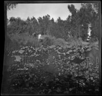 Water lilies and papyrus at Lincoln (Eastlake) Park, Los Angeles, about 1900