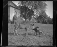 Calf sniffs a dog in the West's yard, Los Angeles, 1897