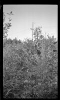 Mertie West picks berries in Oliver's berry patch, Anchorage, 1946