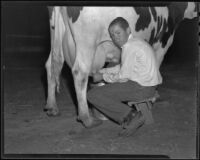 Russell Enoch milks a cow, Chino, 1935-1936