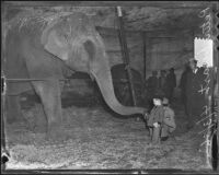 Young boy named Peter Duart feeds Agatha the elephant, Los Angeles, 1936