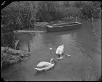 Swans in Reseda Park, 1937