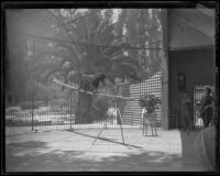 Olga Celeste and Midnight the panther at the California Zoological Gardens, Los Angeles, 1936