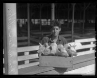 Dean Wilson holds a box of piglets, Pomona, 1936