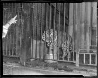 Duke, a Bengal tiger at the California Zoological Gardens, Los Angeles, 1936