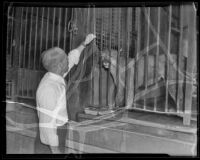 W. J. Richards and June the puma at the California Zoological Gardens, Los Angeles, 1936