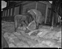 Two unidentified men stack bags of fertilizer in the rain, Sunset Beach, 1939