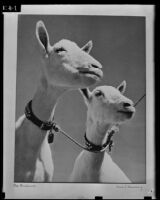 A photograph of two goats on exhibit at the Los Angeles Museum, Los Angeles, 1939