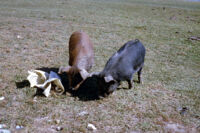 Chile - Two hogs, between 1966-1967