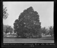 Acacia mollissima at Alameda Park, Santa Barbara, 1912