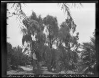 Acacia pendula specimen at the James Waldron Gillespie residence (El Fureidis), Montecito, 1912