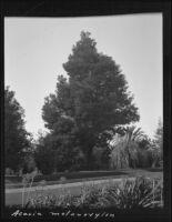 Acacia melanoxylon specimen, Santa Barbara area (?), 1912 (?)