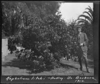 E. W. Hadley standing beside a Nephelium litchi, Santa Barbara, 1912