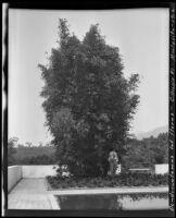 Dendrocalamus latiflorus (giant Taiwanese bamboo), at the James Waldron Gillespie residence (El Fureidis), Montecito, 1912