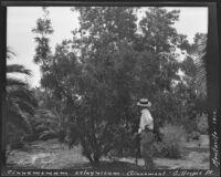 Man in front of a Cinnamomum zelaynicum (Cinnamon tree) at the James Waldron Gillespie residence (El Fureidis), Montecito, 1912