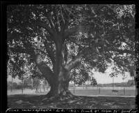Large Ficus macrophylla tree, Los Angeles, 1912