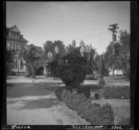 Yucca gloriosa, Claremont, 1912