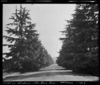 Santa Rosa Avenue lined with cedrus deodara trees, Altadena, 1913
