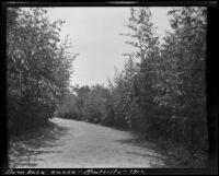 Road lined with bambusa aurea (bamboo), Montecito, 1912