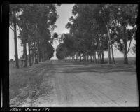 Blue gum (?) eucalyptus trees lining a road, 1912-1915
