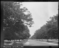 Road lined with walnut trees, 1912-1915