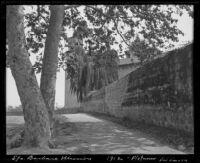 Sycamore tree outside of the wall of the Santa Barbara mission, Santa Barbara, 1912