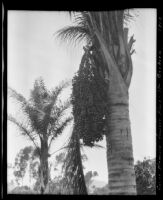 Queen palm at the Sawyer place, Montecito, 1912