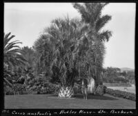 E. W. Hadley standing beside a cocos australis palm on his property, Santa Barbara, 1912