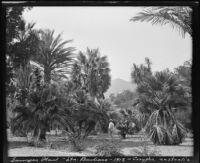 Australian palms on the Sawyer property, Montecito, 1912