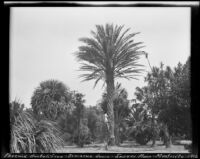 Palm tree specimens at the Sawyer Place, Montecito. 1912