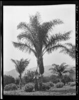 Coconut palm at the Sawyer Place, Montecito, 1912