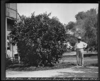 Marsh's Seedless Grapefruit tree, Palm Springs, 1912