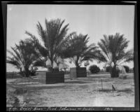 Deglet Noors date trees, Indio, 1912