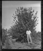Horticulturist Francis Heiny in front of his pistachio tree, Brawley, 1912