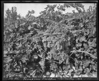 Seedless grapes, Brawley, 1912