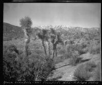 Yucca brevifolia, Antelope Valley