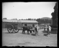 Bulls attached to a small cart stand and while another pair roam around the dirt.